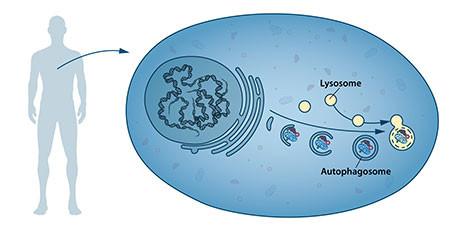 Nuestras células tienen diferentes compartimentos especializados, como los lisosomas. Estos contienen enzimas para la digestión de los contenidos celulares. Un nuevo tipo de vesícula –llamada autofagosoma– se observó dentro de la célula. Los autofagosomas envuelven los contenidos celulares, como proteínas y orgánulos dañados. Finalmente, se fusionan con el lisosoma, donde el contenido se degrada en componentes más pequeños. Este proceso proporciona nutrientes a la célula y permite su renovación. / Nobel Prize