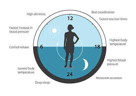 El reloj circadiano anticipa y adapta nuestra fisiología a las diferentes fases del día: patrones de sueño, comportamiento de alimentación, liberación de hormonas, presión arterial y temperatura corporal. / Nobel Prize