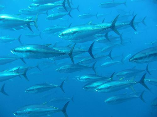 Previsualización de Las poblaciones de atún y caballa han disminuido un 60% en el último medio siglo