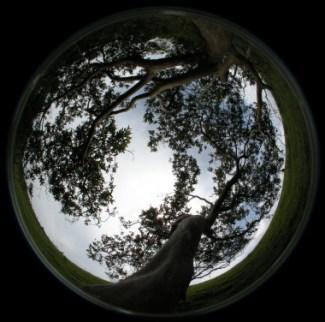 """<p class="""" text-left"""">Fotografía hemisférica de la copa (desde debajo con una cámara digital con un objetivo de 'ojo de pez')de uno de los guayabos estudiados. / Agustina Ventre</p>"""
