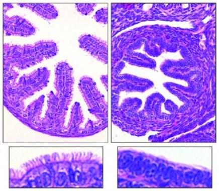 <p>Los oviductos de los ratones con el gen GEMC1 (izquierda) están recubiertos con células multiciliadas, totalmente ausentes en los ratones que carecen del gen. / Berta Terré, IRB Barcelona</p>