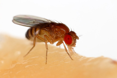 <p>Una mosca de la fruta (<em>Drosophila melanogaster</em>) alimentándose de un plátano /Sanjay Acharya</p>