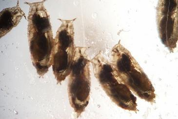 La mosca de la fruta baña sus huevos en alcohol para prevenir infecciones