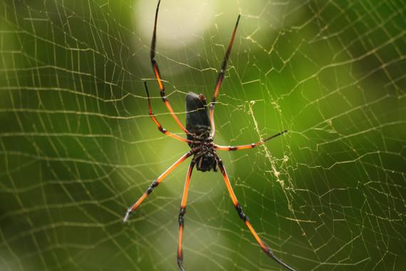 <p>Araña de la especie <em>Nephila inaurata</em>. / UPM</p>