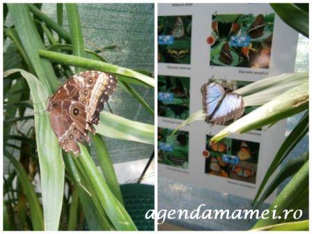 fluturele_de_azur