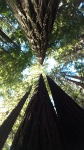 Mendocino Attraction Redwood tree canopy