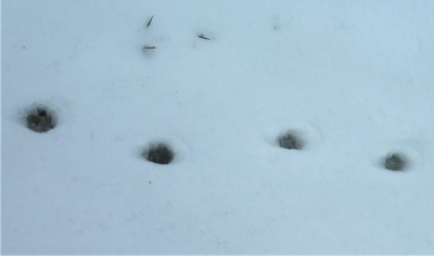 Guess the prints in the snow.