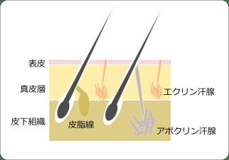 皮膚の断面図 アポクリン腺エクリン汗腺などワキガ・多汗症治療