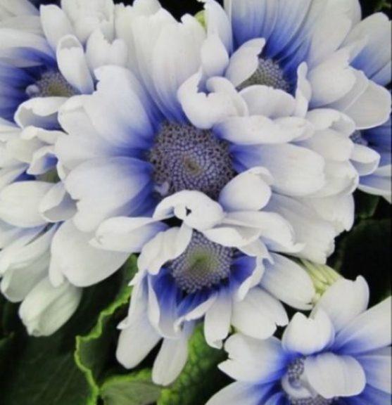 Cineraria flower