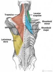 sırt kası anatomisi