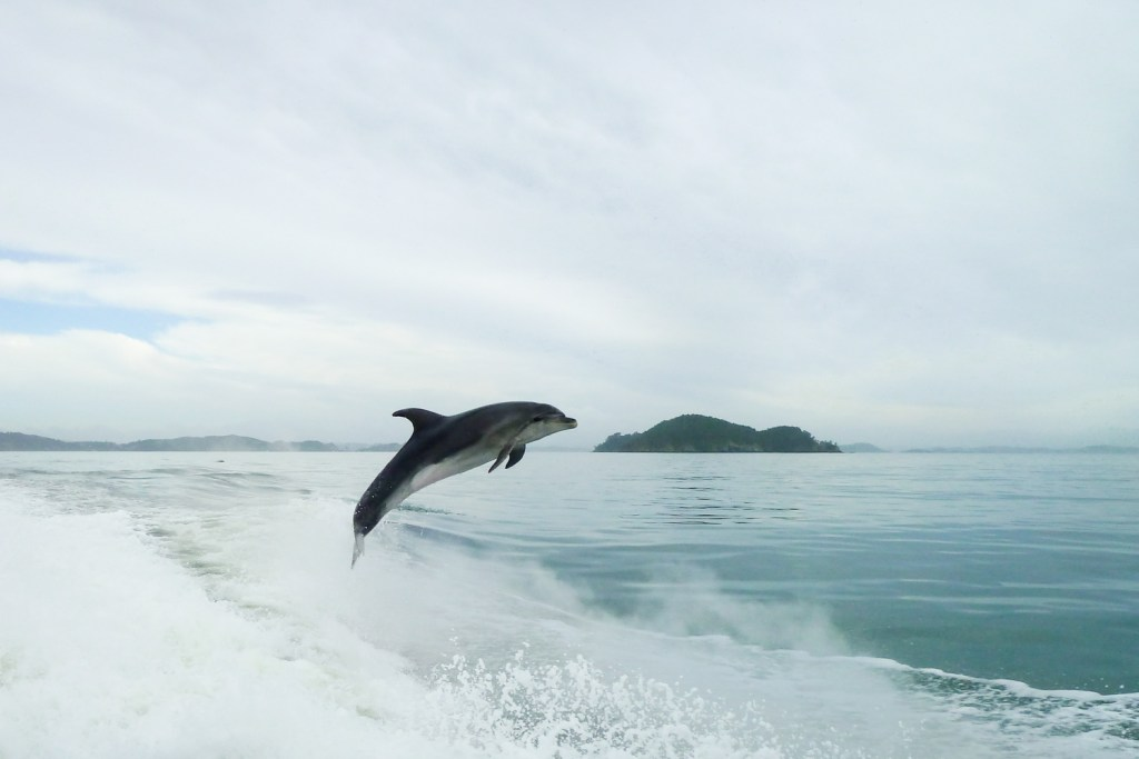 A dolphin jumping at the Bay of Islands, New Zealand