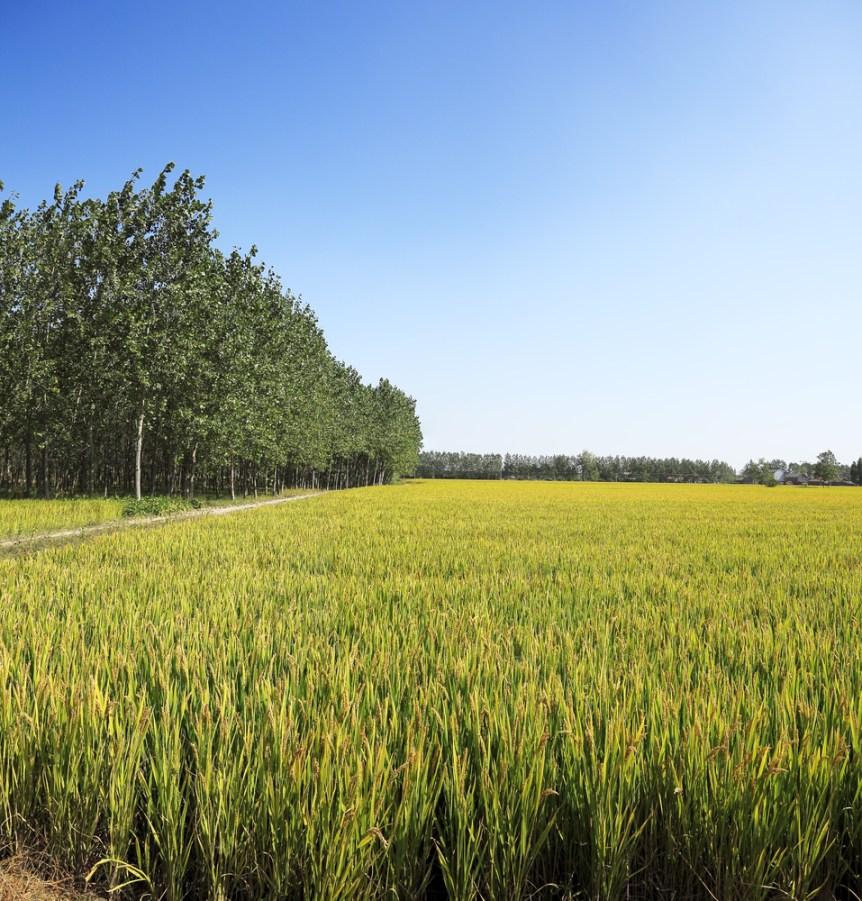 rice crop farmers
