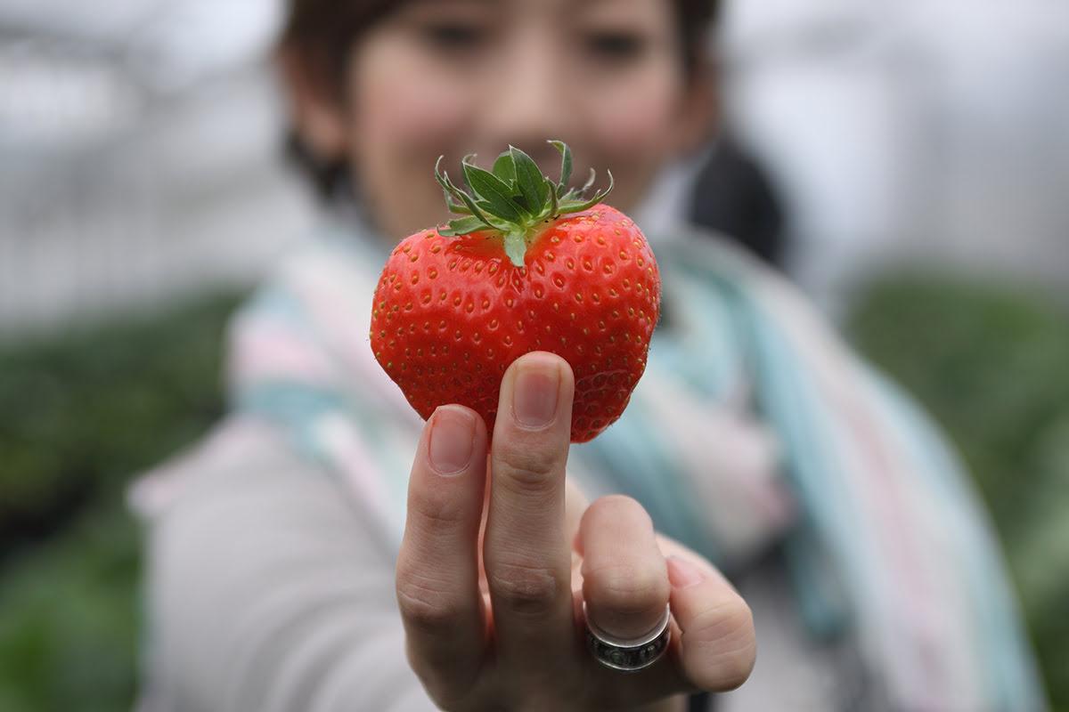Nara food-Strawberry picking