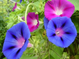 living the divine life by minding the things of the Spirit and being led by the Spirit [in the picture: morning glory flower, a reminder to spend time with the Lord in the morning!]