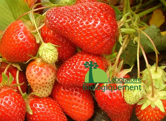 fruit_fraise_antioxydant_agoji_naturel_biologique