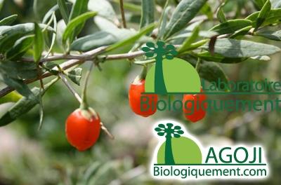 Fruit rouge baie de Goji antioxydante