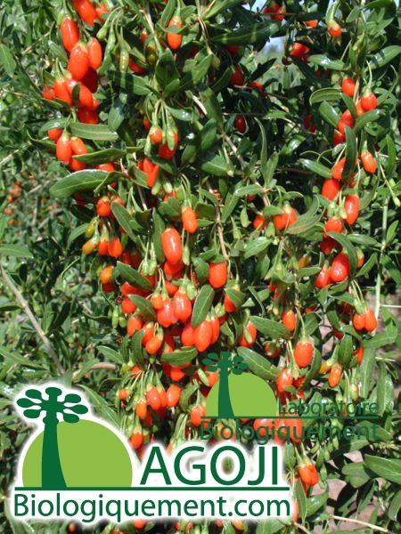 Plante de goji biologique