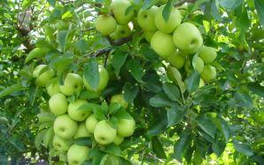 دراسة تكشف الطريقة الأمثل لتنظيف التفاح من المبيدات الحشرية