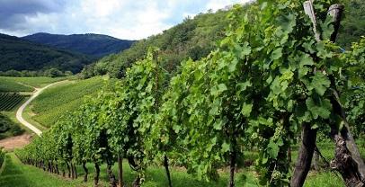 Regione Lazio, agricoltura: oltre 2 milioni di euro per riconversione dei vigneti