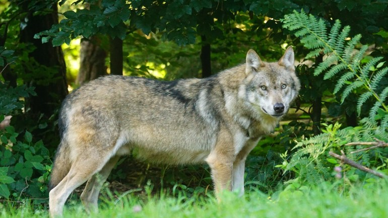 Regione Lazio:approvata la delibera per la conservazione del lupo