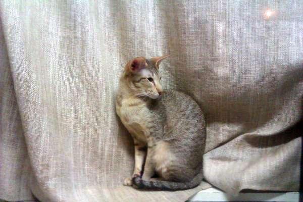 Ook katten worden geknipt bij Trimsalon Agouti in Purmerend