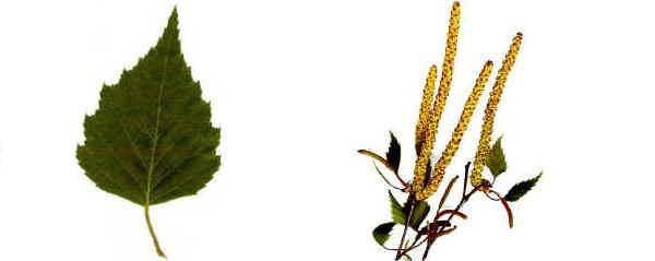 Coltivazioni forestali Betulla bianca