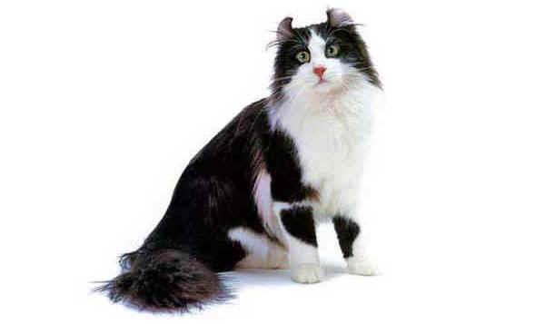 Razze gatti American Curl Longhair