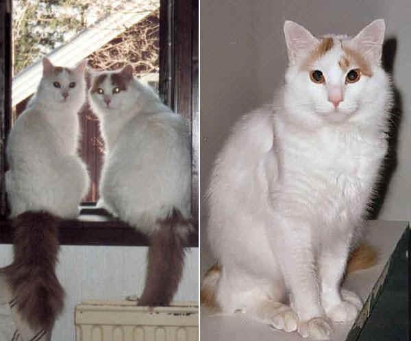 Razze gatti Turco Van