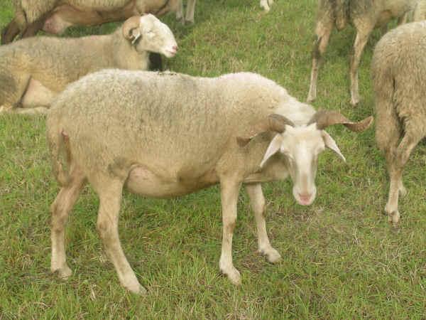 Razze ovine Cornella Bianca dellEmilia Romagna