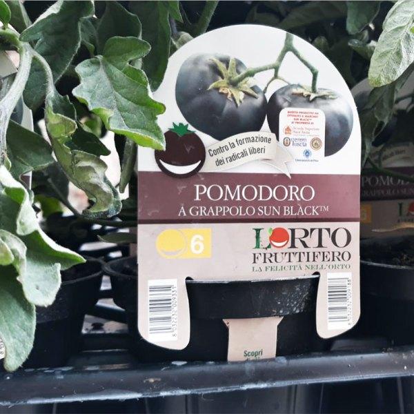 Pomodoro a grappolo SunBlack - Certaldo