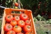 Maraîchage : Tomate de plein champ (Casablanca-Safi)