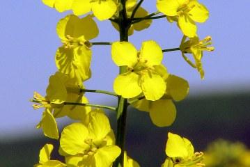Le soufre dans la nutrition des plantes