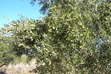 Oléiculture : Croissance végétative et rendement de l'olivier