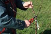 Arboriculture : Taille du pommier