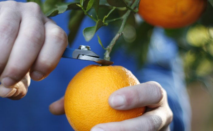 Récolte des agrumes : Précautions à prendre