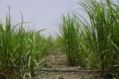 Irrigation : Canne à sucre au goutte à goutte dans le Gharb