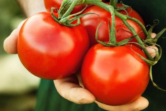 Maraîchage : Tomate Agadir, fleuron des primeurs Maroc