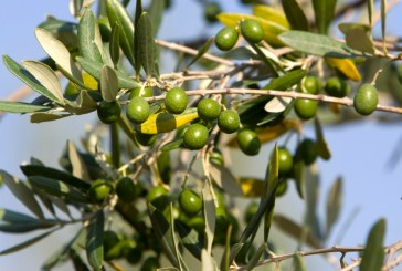 Oléiculture : L'antrachnose en oliveraie