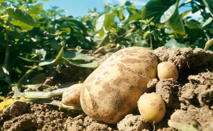 Phytosanitaire : Mildiou de la pomme de terre