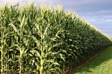 Céréales : La culture du maïs