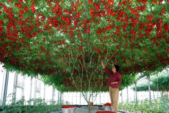 Un plant de tomates qui bat tous les records