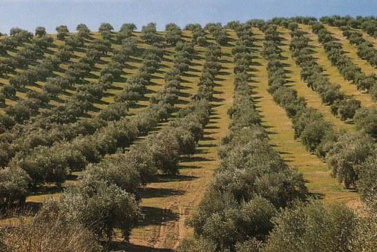 Les bonnes pratiques oléicoles en zones arides et semi-arides