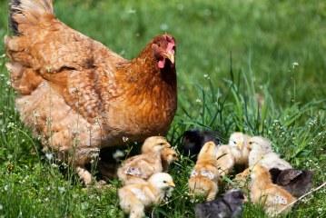 Aviculture traditionnelle dans la province d'Ifrane