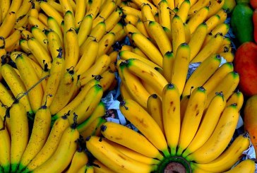 Maladie des bananes: la FAO cherche 98M de dollars