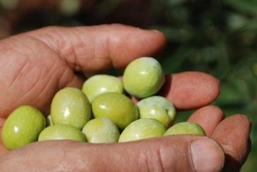 La production d'olives la plus importante jamais enregistrée !
