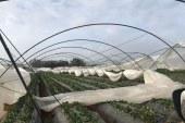 Fruits rouges: Importants dégâts causés par les rafales de vent