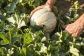 Melon charentais, un avenir à repenser