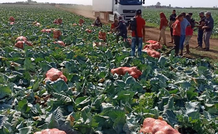 الملفوف: زراعة واعدة في نمو متزايد
