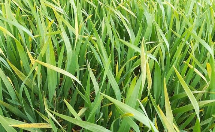 Des marquages foliaires inhabituels sur céréales