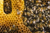 20 mai: Journée mondiale des abeilles